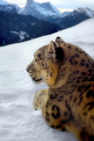 photomontage: Photomontage of a snow leopard