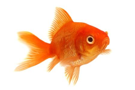 simple fish: Orange Goldfish on White