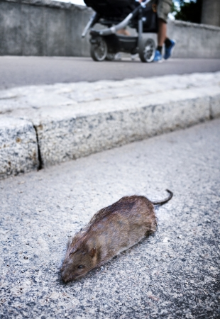 rata: Rata muerta