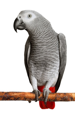 african grey parrot: African Grey Parrot  Stock Photo