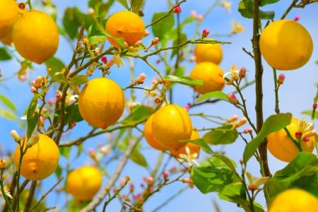 lemon tree: El cultivo del lim?n en el ?rbol de lim?n