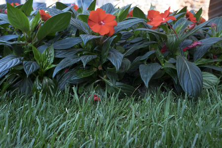 Detail of flower bed with red flowers on green lawn portion of garden