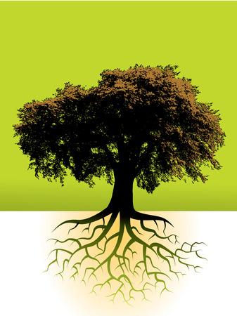 planta con raiz: Un gran �rbol con su sistema radical se muestra Vectores