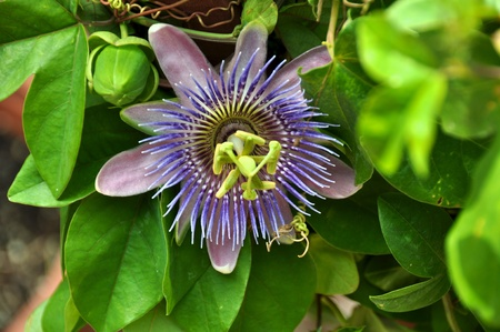 passionflower: passionflower Stock Photo
