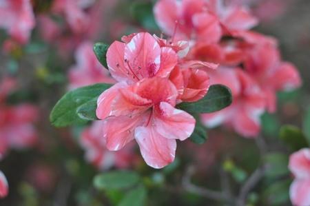 azaleas: azaleas