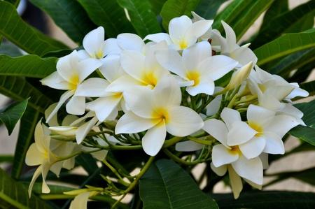 Plumeria Blumen Standard-Bild - 10526682