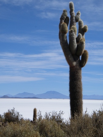 These ancient cacti grow at 1cm per year, making some of them hundreds of years old. This one occurs on an  photo