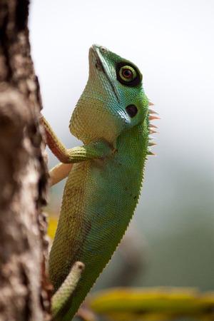 Green Crested Lizard climbing tree