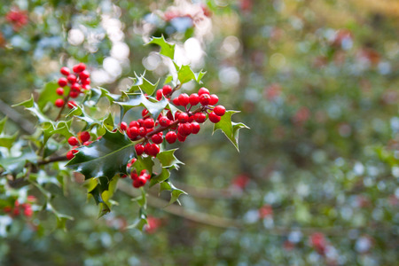 Holly growing in the wild
