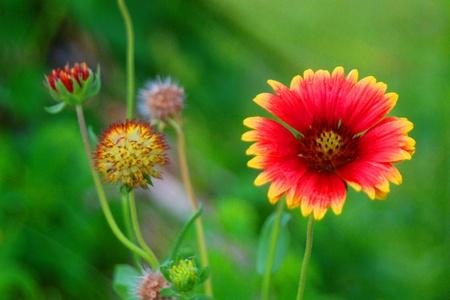 gazania in bloom Stock Photo - 13299785