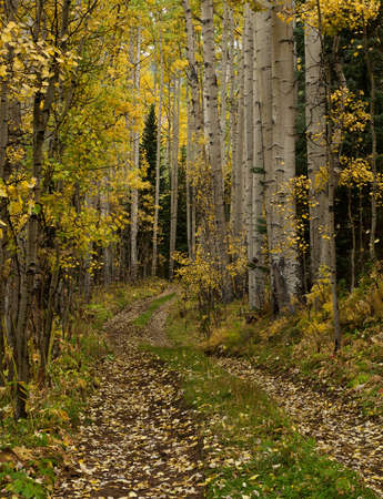 Small trail leading into an aspen forest near Telluride, Colorado photo