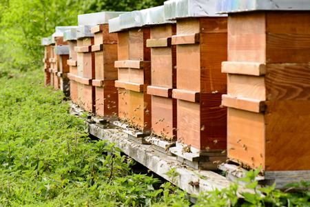 gold capped: Hives with bees at the hive entrance