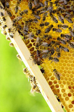 stockpiling: Honeycomb frame with bees and queen