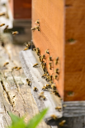 stockpiling: Hives with bees at the hive entrance
