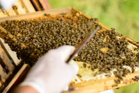 gold capped: Looking over the shoulder beekeepers to the honeycomb frame with bees and chisel Stock Stock Photo