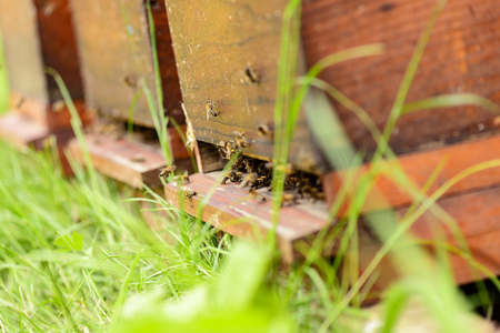 gold capped: Bees in the entrance hole of Their hive