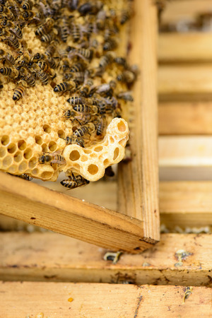 stockpiling: queen cell at the honeycomb edge Stock Photo