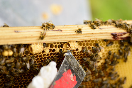 stockpiling: Removing a queen cell with the floor chisel and visible Propolis