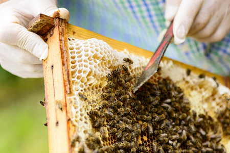 gold capped: Removing wild assembled honeycomb in beehive frames by the beekeepers from Those is flowing fresh honey Stock Photo