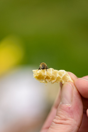 gold capped: Honeycomb from Illegal building with bee