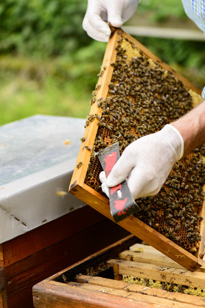 stockpiling: Beekeeper in controlling the beehive on queen cells viewing on honeycomb frames of a beehive