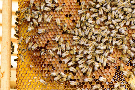 industriousness: Bees on honeycomb just before locking the honeycomb by the bees Stock Photo