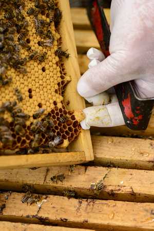 gold capped: Removing a queen cell from a honeycomb frame with bees
