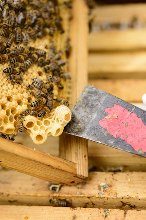 gold capped: Removing a queen cell with the floor chisel from a honeycomb frame with bees