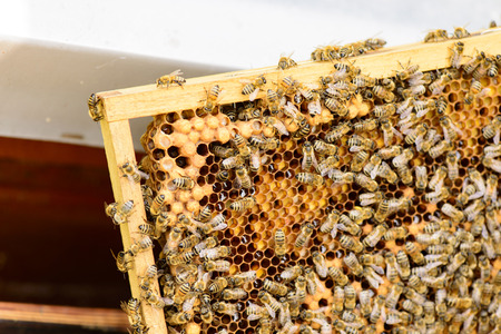 gold capped: Beekeeper in controlling the beehive on queen cells viewing on honeycomb frames of a beehive