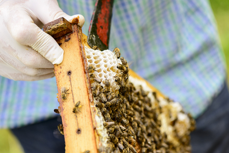 industriousness: Removing wild assembled honeycomb in beehive frames by the beekeepers from Those is flowing fresh honey Stock Photo