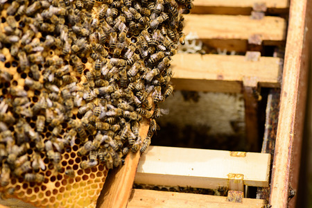 gold capped: View on honeycomb frames of a beehive with bees