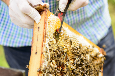 mass storage: Removing wild assembled honeycomb in beehive frames by the beekeepers from Those is flowing fresh honey Stock Photo