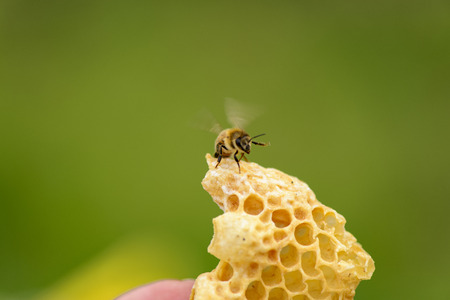 stockpiling: Honeycomb from Illegal building with bee