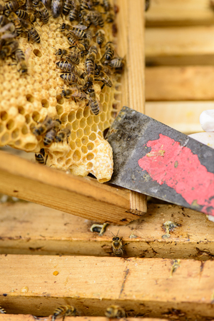 industriousness: Removing a queen cell with the floor chisel from a honeycomb frame with bees