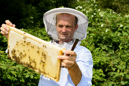 apis: beekeeper at work with honeycomb frame