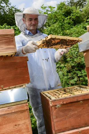 industriousness: beekeeper at work with honeycomb frame