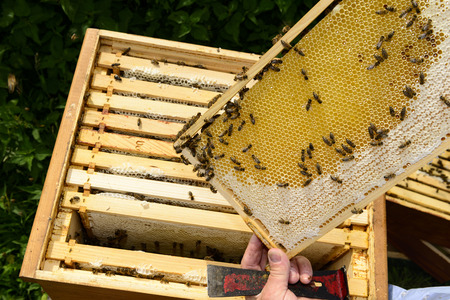 industriousness: Looking over the beekeepers shoulder Stock Photo