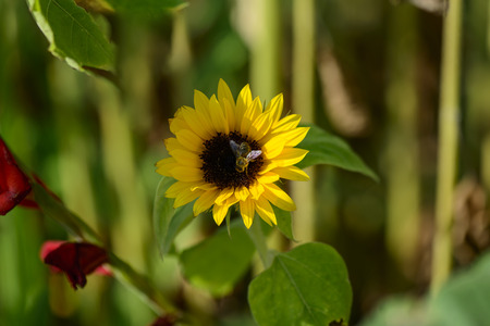 Bumblebee collects nectar on sunflower Stock Photo
