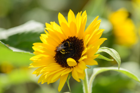 nectar: Bumblebee collects nectar on sunflower Stock Photo