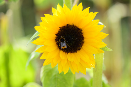 Bee collects nectar on sunflower Stock Photo