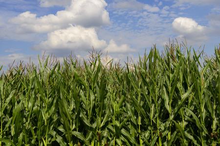 champ de mais: View to cornfield