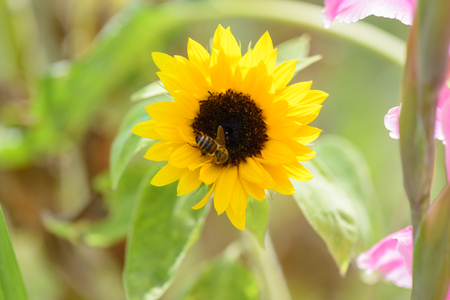nectar: Bee collects nectar on sunflower Stock Photo