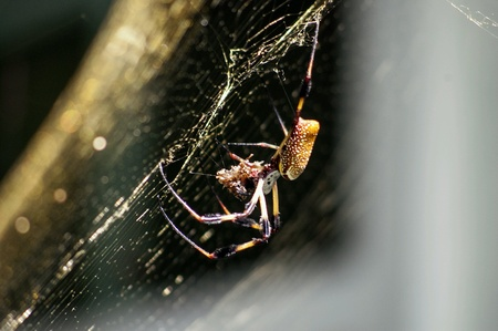 golden orb weaver: Spider