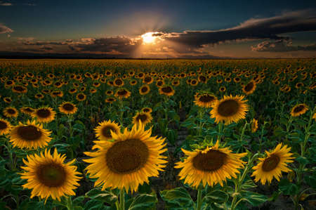 seemed: The sunflowers seemed to go on forever in this image taken near Denver International Airport in Colorado.