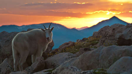 mountain goats: This very friendly Mountain Goat was happy to pose for me in front of a spectacular mountain sunset.  This image was taken on Mount Evans in Colorado.