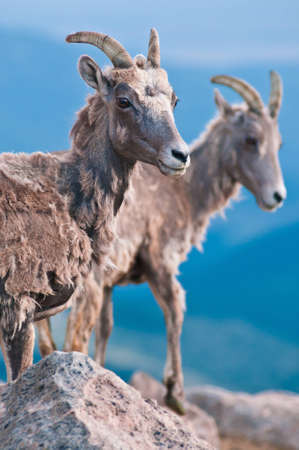 mount evans: Bighorn Sheep pause for a moment as this image was taken on Mount Evans above the town of Idaho Springs, Colorado.