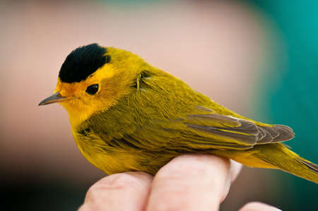 banding: A Wilsons Warbler enjoys a quick visit at the Denver Audubon Societys Bird Banding Station.  He stopped in one of their nets long enough to get banded and entered into the national database.  For me, it was a great chance to see a gorgeous little bird u