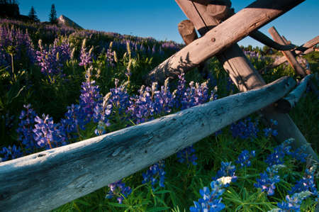 butte: A plethora of wildflowers appear in this scene captured in the little mountain town of Mount Crested Butte, Colorado.
