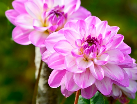 Pink chrysanthemum flowers photo