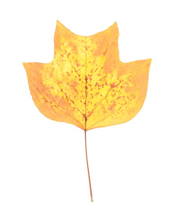 Autumn leaf of American tulip tree photo